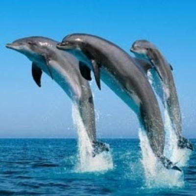 Dancingdolphin